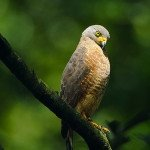 hawk, bird watching manuel antonio national park gay friendly vacation massage yoga spa retreat rainforest