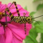 Grasshopper, Costa Rica