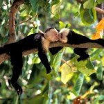 white face monkeys, costa rica, rainforest