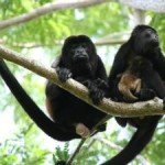 Howler monkeys, prana rainforest retreat, Manuel Antonio, Costa Rica, Vacation,