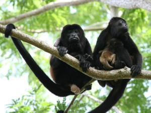 Howler monkeys, prana rainforest retreat, Manuel Antonio, Costa Rica, Vacation,