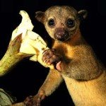 Kinkajou, manuel antonio costa rica, retreat, prana rainforest, national park, massage yoga honeymoon
