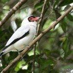Tityra, prana rainforest retreat, costa rica