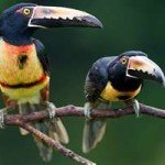 Aracari, manuel antonio national park costa rica honeymoon bird watching gay friendly spa massage yoga