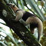 tamandua anteater, costa rica, manuel antonio, national park, massage yoga spa honeymoon
