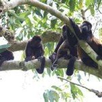 howler monkeys, manuel antonio national park, costa rica, beach, spa , massage , yoga, honeymoon