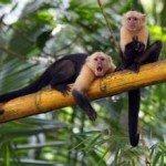 White face monkey prana rainforest retreat