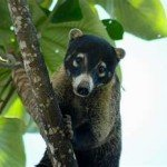 Coati, manuel antonio, costa rica, spa massage yoga honeymoon retreat