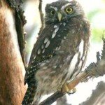 Pygmy owl, prana spa retreat, costa rica