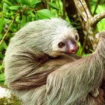 Two Toed Sloth, prana rainforest retreat, manuel antonio, costa rica