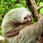 Two Toed Sloth, prana rainforest retreat, manuel antonio, costa rica